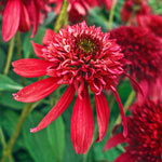 Double Scoop Cranberry Coneflower
