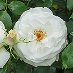 Plum Wonderful Tulip Mix