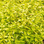 Early Dwarf Iris Mix