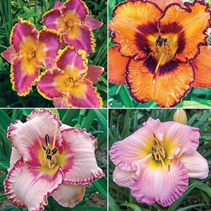 Ruffled Edges Daylily Value Collection