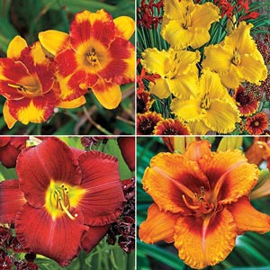 Daylily Value Color Collection - Hot Colors