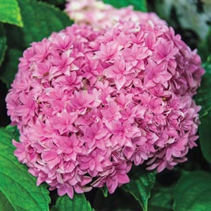 Double Delights™ Perfection Hydrangea