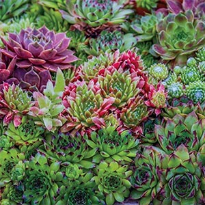 Hens and Chicks Mix
