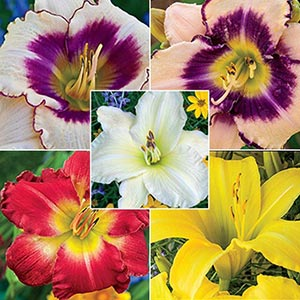 Reblooming Daylily Collection B