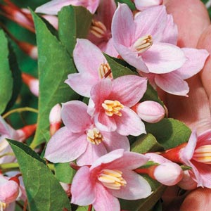 Marley's Pink™ Japanese Snowbell