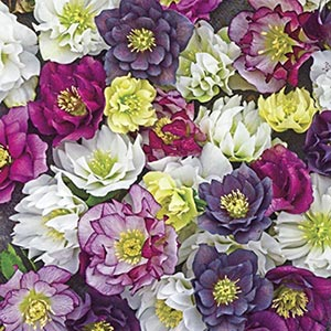 Wedding Party™ Double Hellebore Mix
