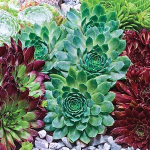 Moss Rose Hens and Chicks