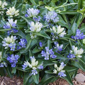 Blue Cross Gentian