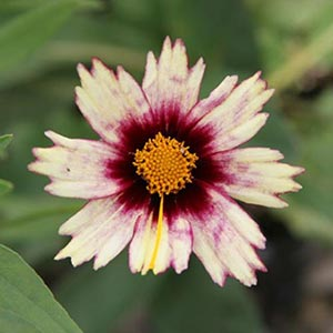 Red Shift Coreopsis
