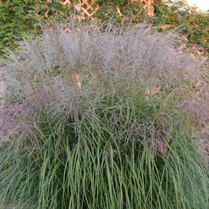 Autumn Anthem Miscanthus