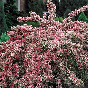 Pink Splash Variegated Weigela