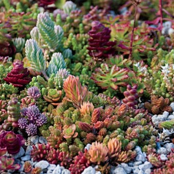 Rainbow of Sedums