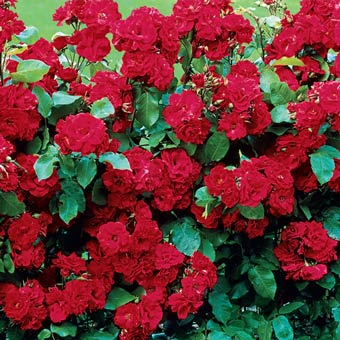 Spring Hill's Red Freedom™ Hedge Rose