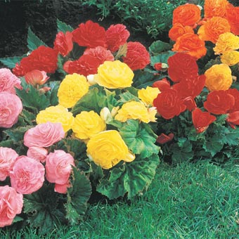 begonias non stop how to canada