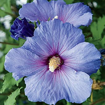 blue bird rose of sharon on sale at spring hill nursery. Black Bedroom Furniture Sets. Home Design Ideas