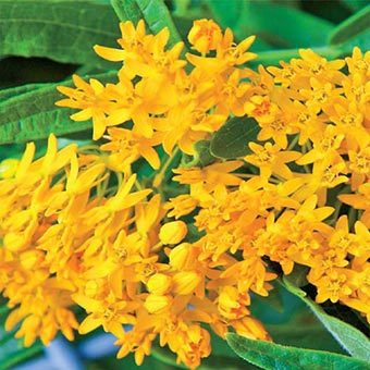 Hello Yellow Butterfly Weed