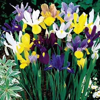 Dutch Iris Mix
