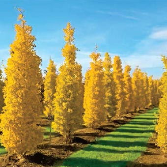 Goldspire ginkgo on sale at spring hill nursery for Specimen trees zone 5