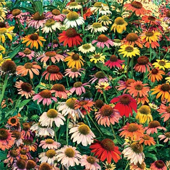 Cheyenne Spirit Coneflower Mix