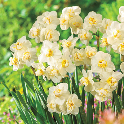 Fragrant Cheerfulness Daffodil