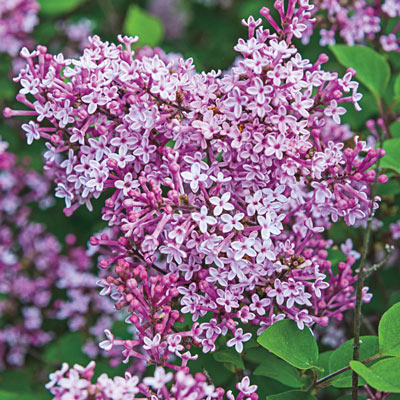 Josee Reblooming Lilac Collection